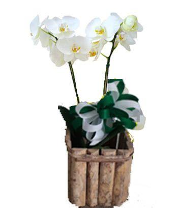 1662 Orquídea com 1 Hastes em cachepô