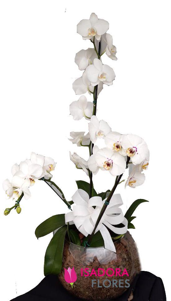 2294 Trio de Orquídea em Vaso