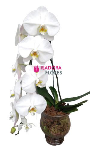2314 Orquídea Branca na Taça