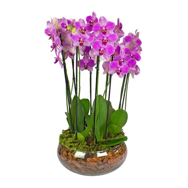 2317 Orquídea Vida longa a quem se ama