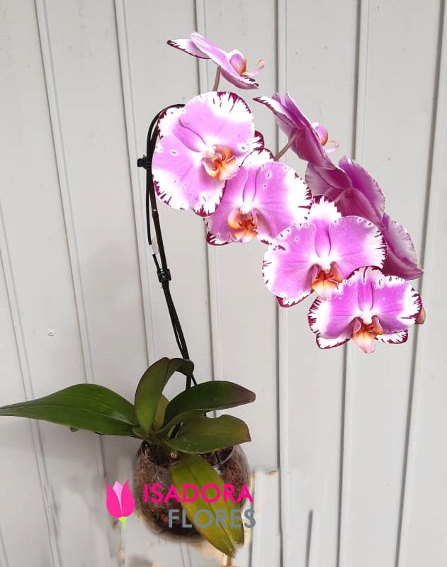 2774 Orquídea Perfeição