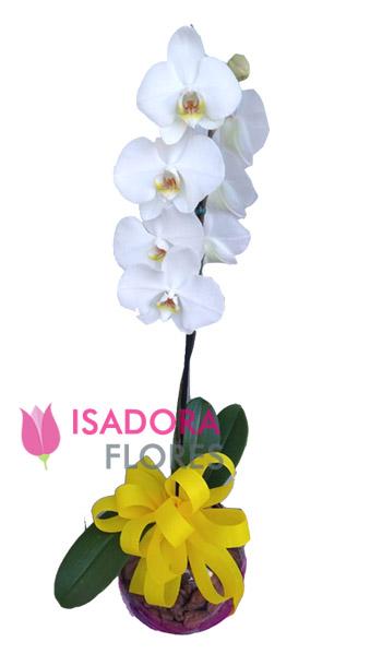 3352 Orquídea  Branca