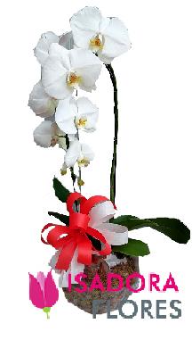 4541 Orquídea em Aquário